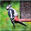 NN7923 : Great Spotted Woodpecker (Dendrocopos major) by Dr Richard Murray