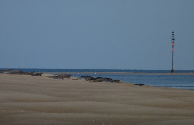 Seals on Stiffkey sands at low tide