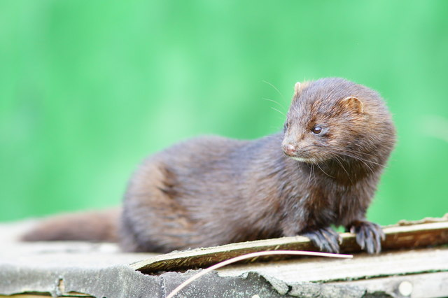 American Mink at the British Wildlife Centre, Newchapel, Surrey