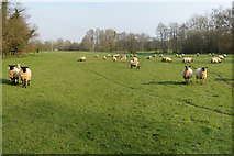 TQ7831 : Field of Sheep by Oast House Archive