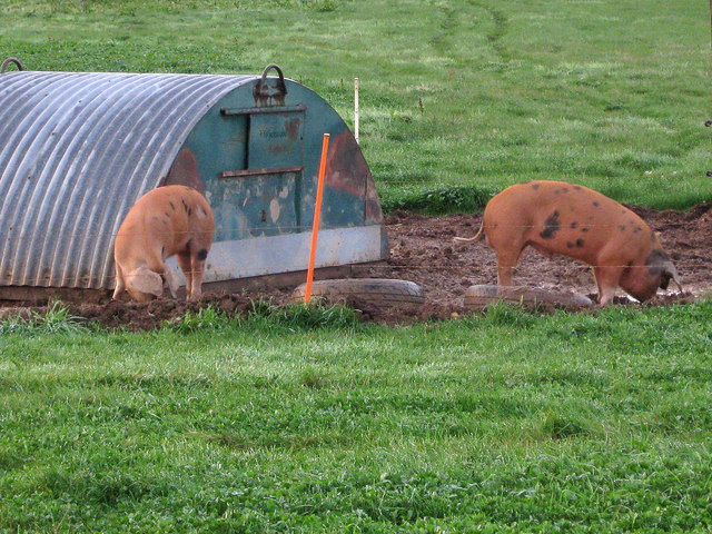 Pigs near Wychwood Farm Cottages
