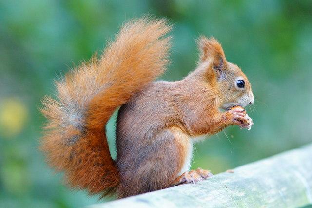 Red Squirrel at the British Wildlife Centre, Newchapel, Surrey