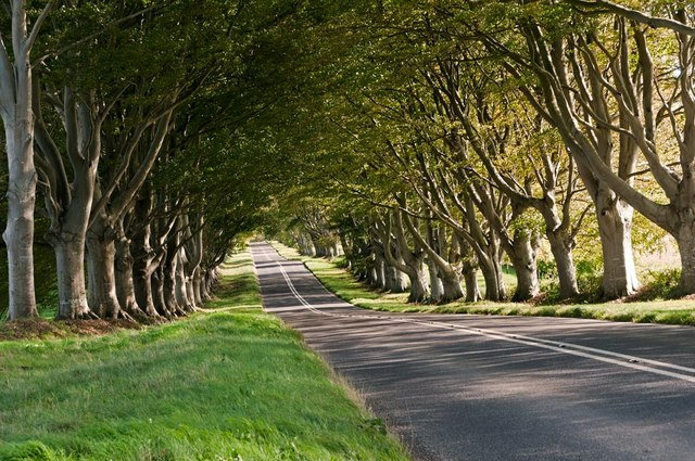 The beech avenue between Blandford and Wimborne