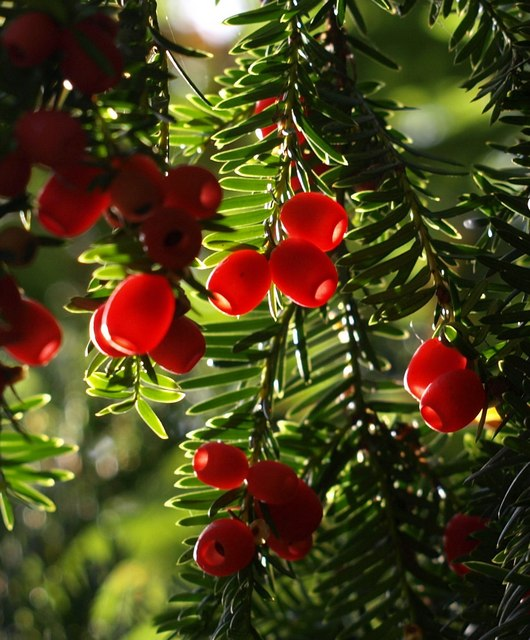 Yew berries, Greenway