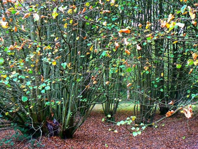 2000 year old Lime, Westonbirt Arboretum