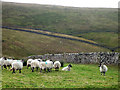 SD7173 : Dalesbred sheep, Crina Bottom : Week 42
