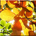 SO6424 : Beech leaves in autumn by Jonathan Billinger
