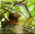 SZ0288 : Red Squirrel on Brownsea Island, Dorset : Week 42