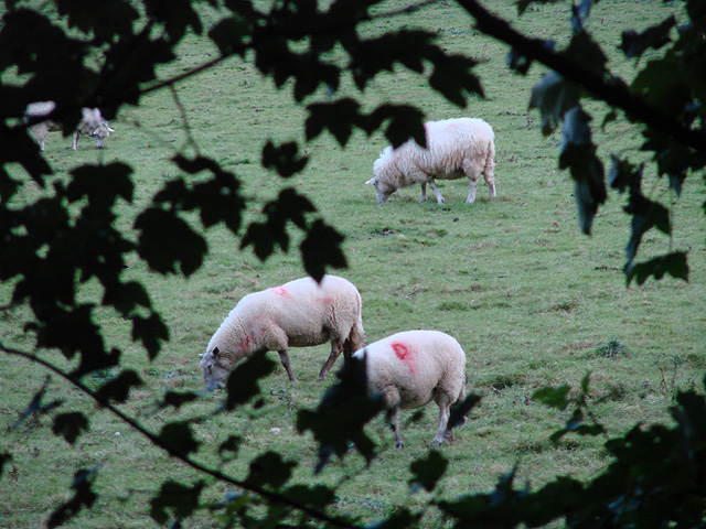 Ewes in the Rheidol Valley