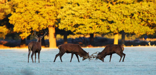 Rutting Stags (2)