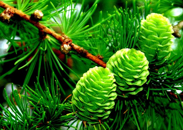Pine Cones revisited