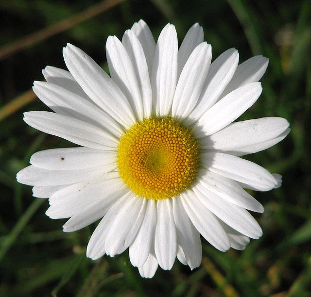 Oxeye daisy flower