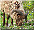 TM5177 : Castlemilk Moorit ram (close-up) : Week 43