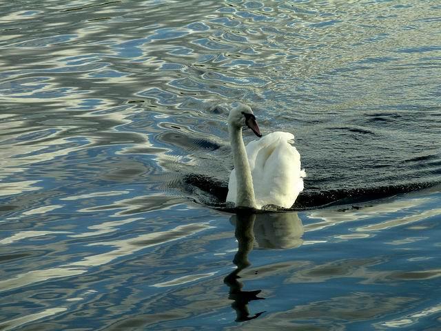 Mute Swan on Castle Loch