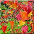 SO6424 : Cercis canadensis, Forest Pansy by Jonathan Billinger