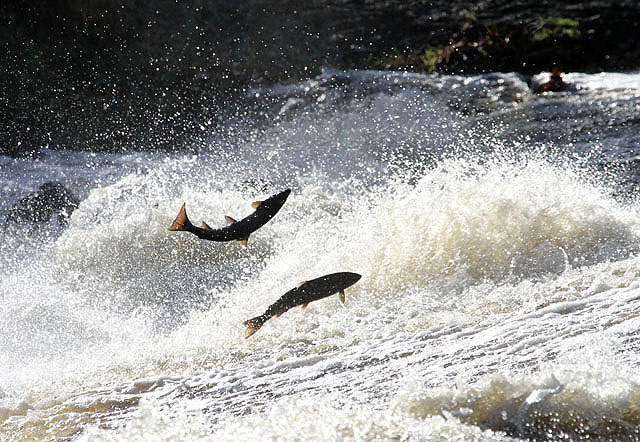 Leaping salmon at Murray's Cauld, Philiphaugh