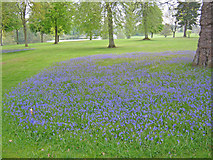 ST9770 : Bluebells in the Bowood Arboretum by Trevor Rickard