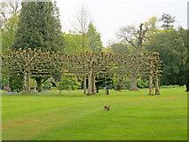 Hare at Bowood Arboretum