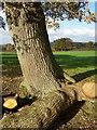 ST8122 : Oak tree near Duncliffe Wood : Week 45
