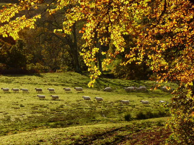 Autumn sheep parade!