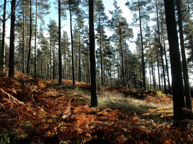 Conifer Trees in Bennachie Forest