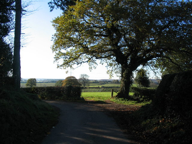 Oak by the lane to Marsland Farm