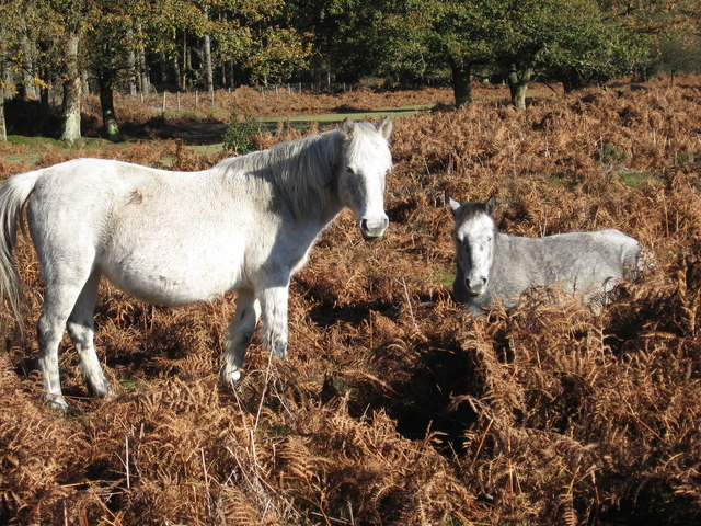 Linford Bottom - New Forest Ponies