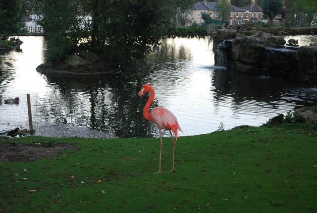 pink flamingo  water garden  whitgift     u00a9 n chadwick cc 2 0    geograph britain and ireland