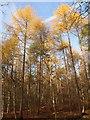 SU9586 : Conifers, Egypt Woods by Derek Harper