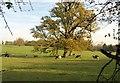 SU9182 : Oak and cattle, Hitcham Park by Derek Harper