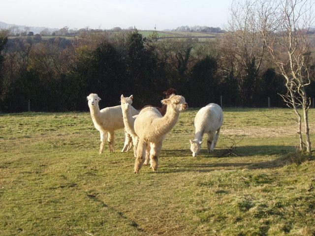 Alpacas grazing