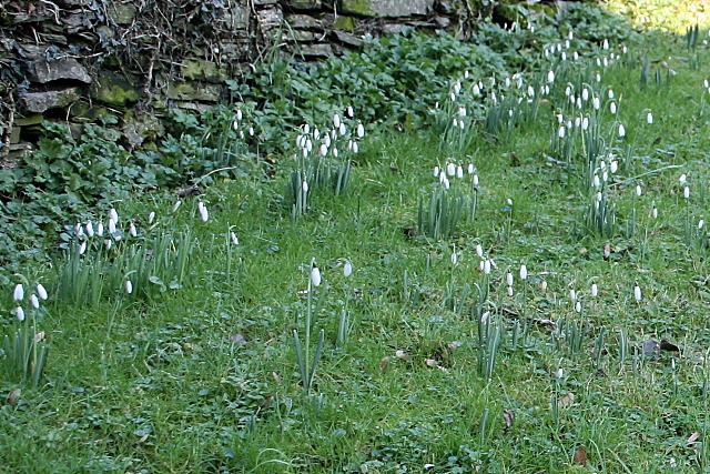 Snowdrops in Old Kea churchyard