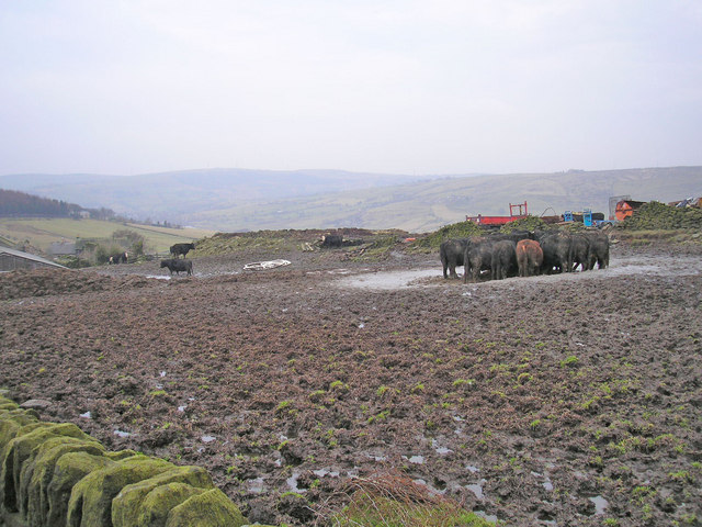 Cows still in mud