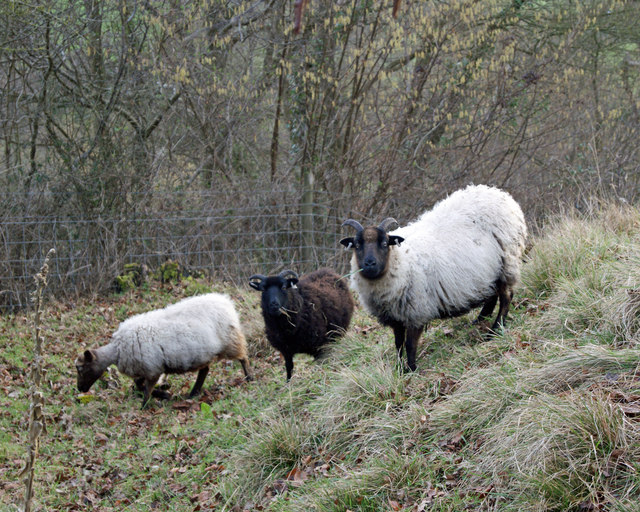 Rare breed Sheep