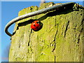 SO6424 : Coccinella septempunctata, the seven-spot ladybird by Jonathan Billinger