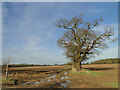 TF8120 : Muddy footpath and a fine oak tree near Massingham : Week 8