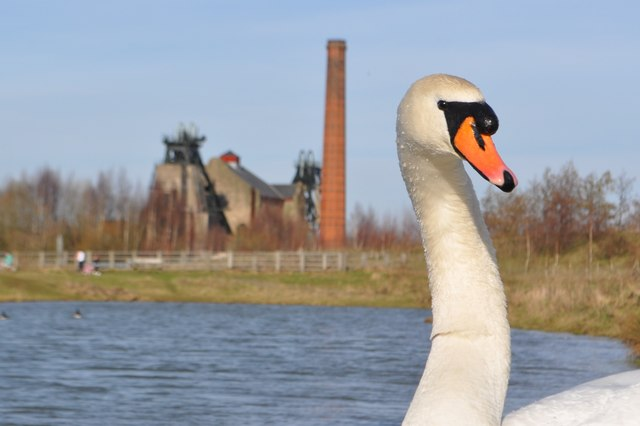 Mute Swan and Pleasley Colliery