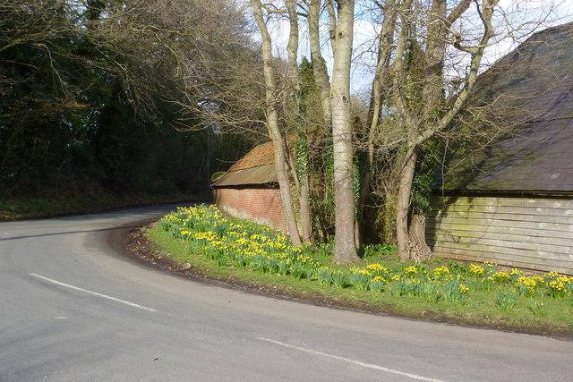 Daffodils by Schoolhouse Farm