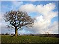 SD6469 : Oak tree west of Low Bentham : Week 9