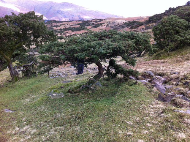 """Sculpted"" trees in Blindtarn near Grasmere"