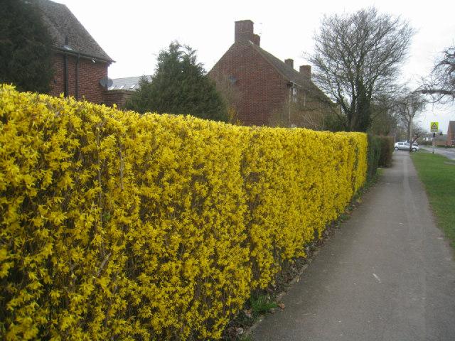 Yellow forsythia hedge