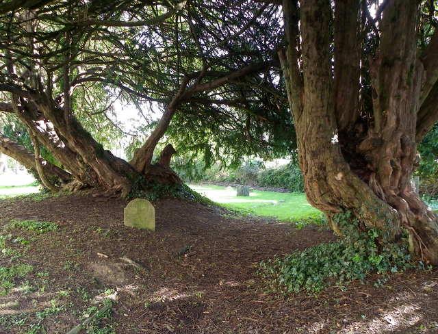 Yew Trees, Lytchett Minster