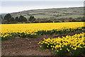 SW6635 : Daffodils near Whistling Winds Farm by Elizabeth Scott