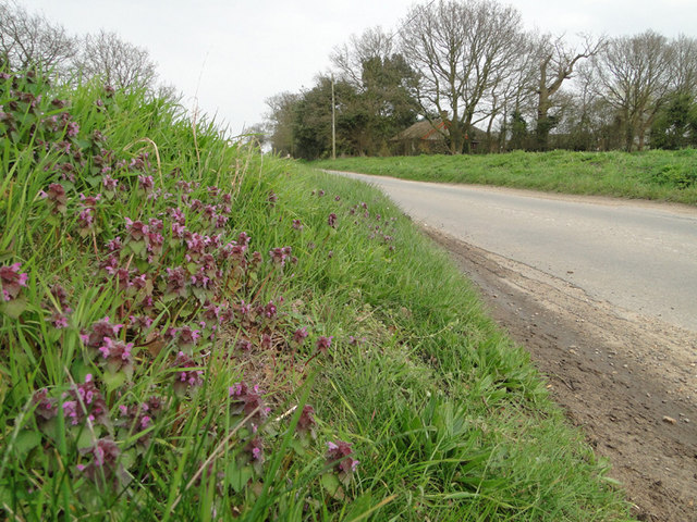 'Dead Nettles' beside Mill Road, Marsham