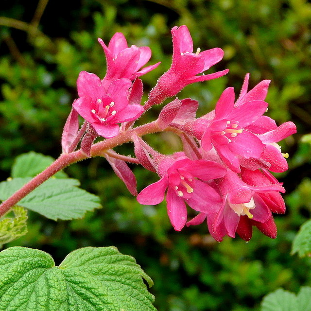 Flowering currant, Ribes sanguinium 'King Edward VII'
