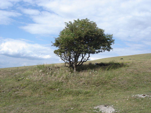 Solitary bush on Malling Hill