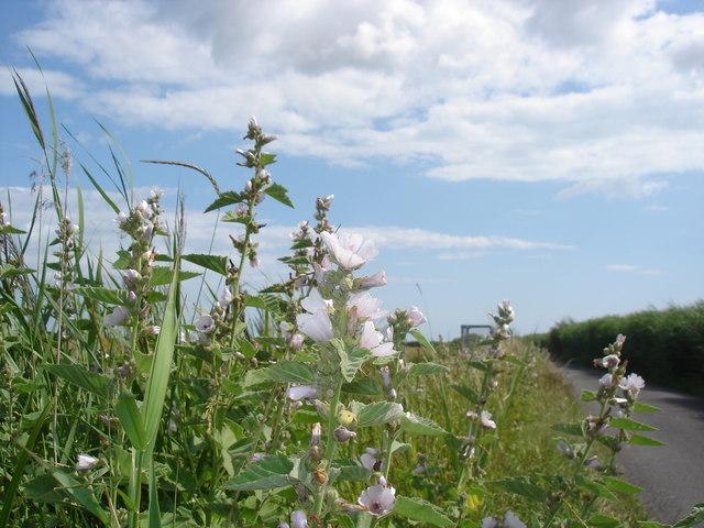 Marsh Mallow - Althaea officinalis
