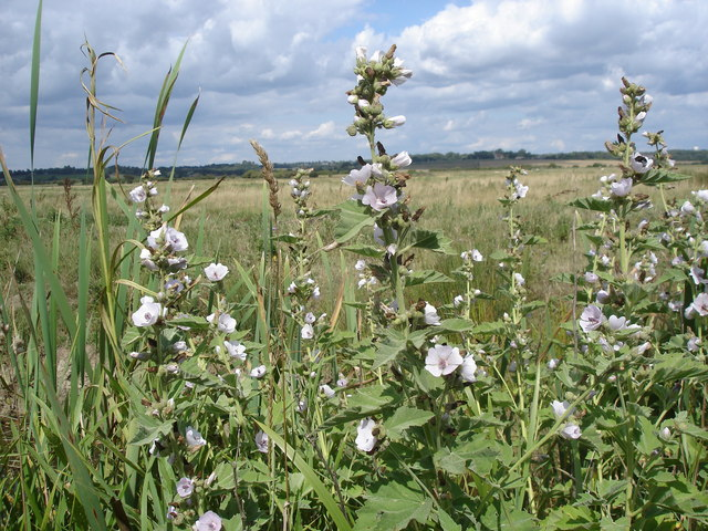 Marsh Mallow - Althaea officinalis