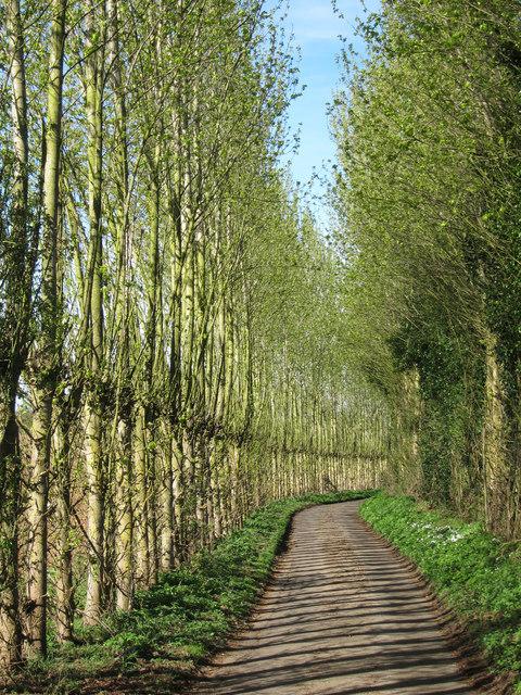 Poplars along Bicknor Road