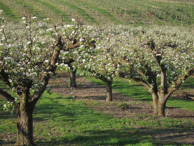 Orchard off Howfield Lane